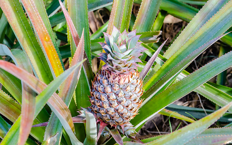 Pineapples grow on the ground.<br/><small>©Shutterstock/Marco Rubino</small>