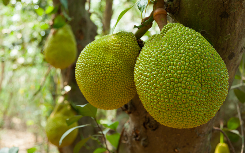 When<em> Uru</em>, the fruit of the breadfruit tree, is cooked, it looks similar to bread.<br/><small>©Shutterstock/ProStockStudio</small>